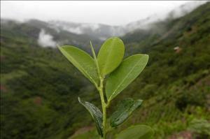 Hoja de Coca en la altura peruana